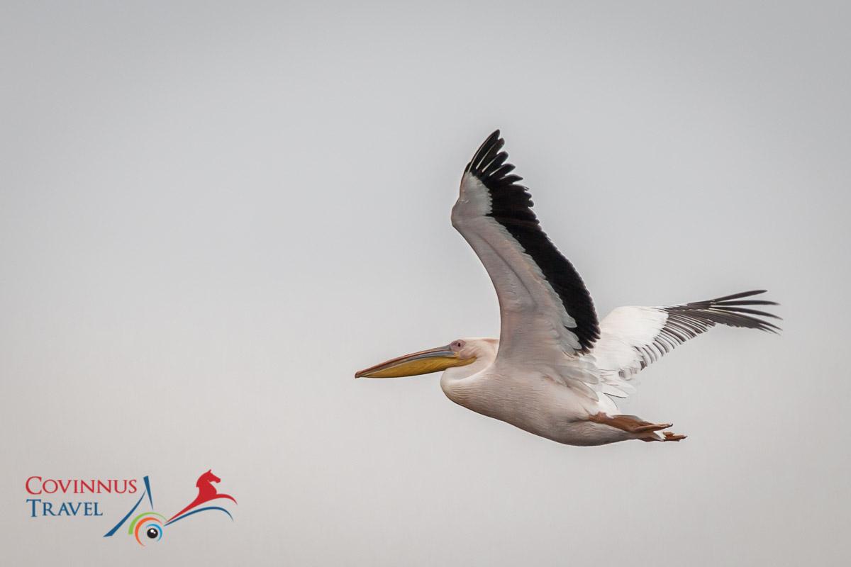 Pelican, Danube Delta