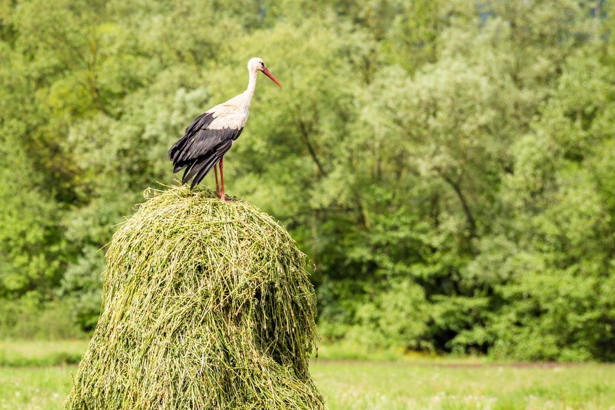 Stork Romania